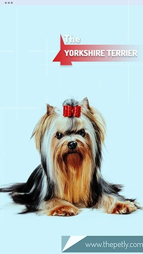 The picture of the Yorkshire Terrier dog breed