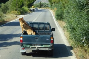 unsafe dog in truck