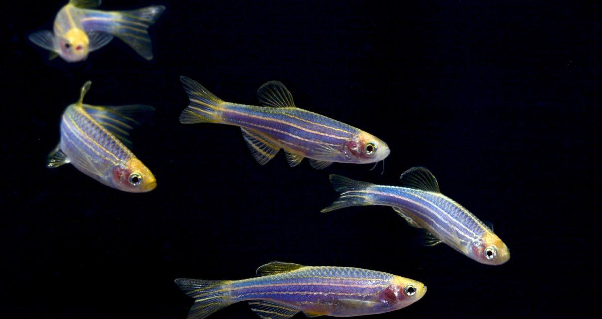 how many glofish in