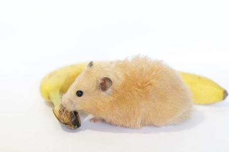Can Hamsters Eat Bananas?