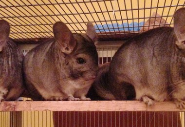 Chinchillas Barking or Fighting