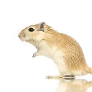 Do Gerbils Bite?