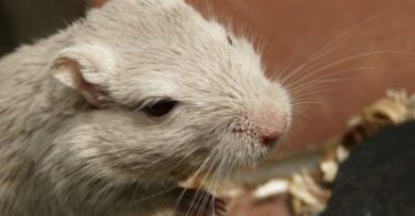 Do Gerbils Smell?