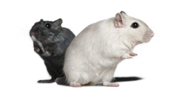 Everything you Need to Know About Gerbils
