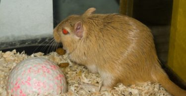 Gerbil Diet- What Do Gerbils Eat