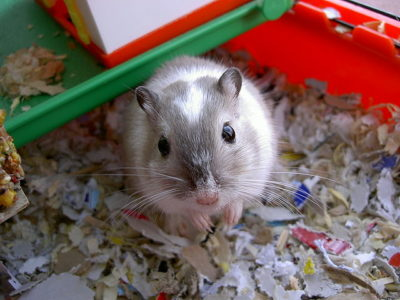 Gerbils as Pets - Do you Really Want Them