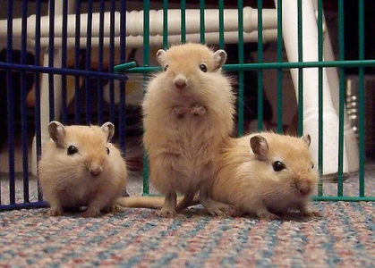 How to Take Care of Your Pet Gerbil