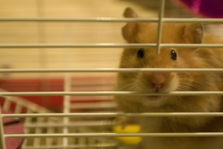 Why do hamsters chew bars