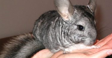 gifts for chinchilla lovers