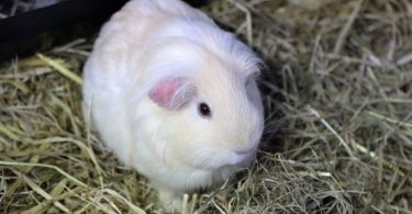 How Long Do Guinea Pigs Live?