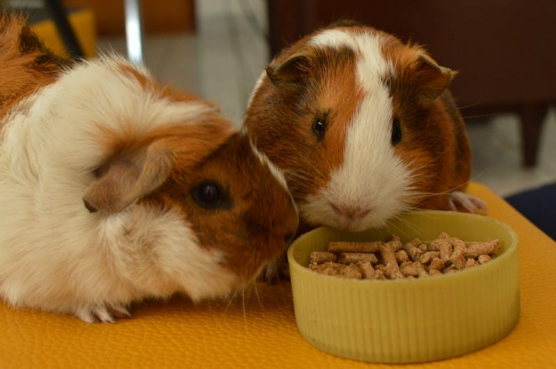 What Guinea Pigs Eat