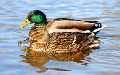 duck feeding why not