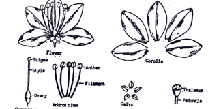 Flowers in pharmacognosy