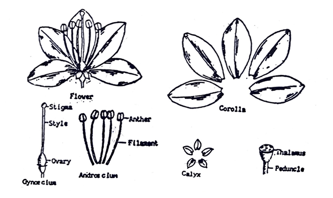 Parts of a typical flower