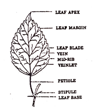 Morphology of the Leaves