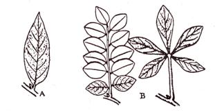 Types of leaf