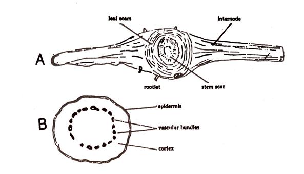 Podophyllum Macroscopical characters