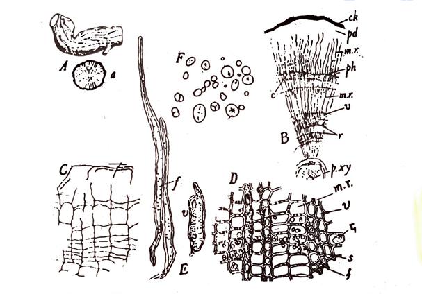 Rauwolfia Microscopical characters