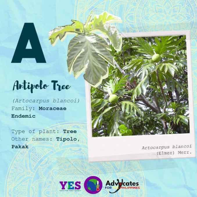 antipolo tree