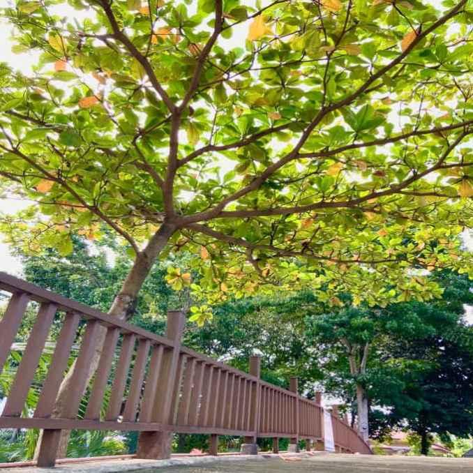 talisay tree
