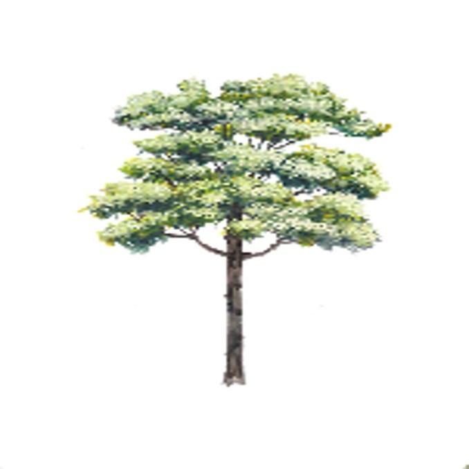 amugis tree