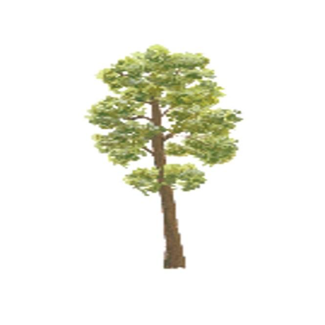 bangkal tree