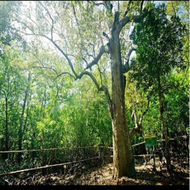 miyapi tree