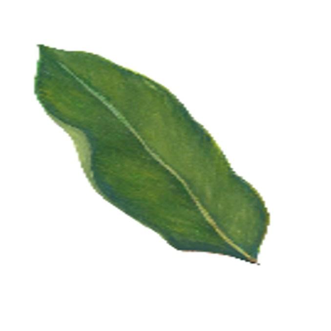 kamagong leaves