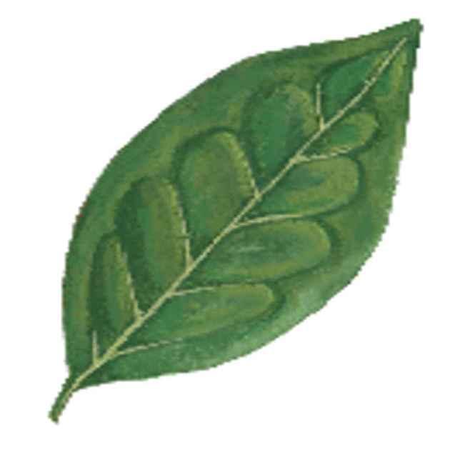 kamuning leaves