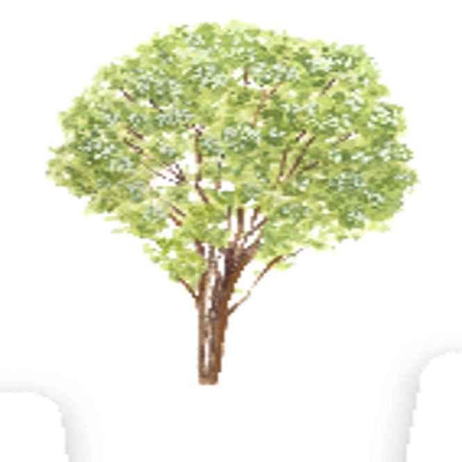kamuning tree