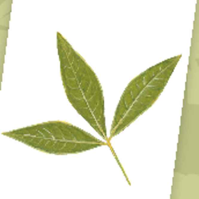 molave leaves