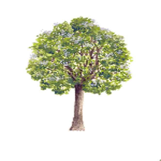 molave tree