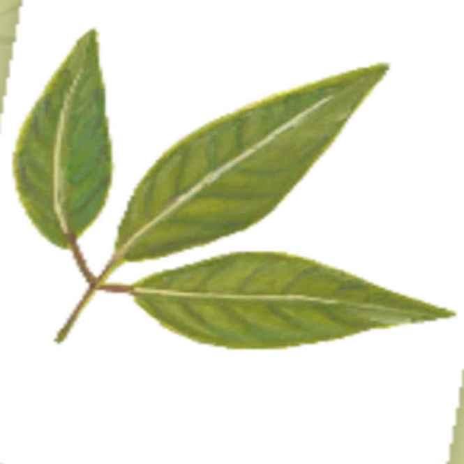 salingbobog leaves