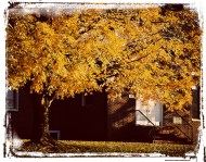 golden maple_1386