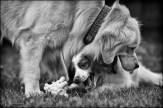 23-52 sheep dogs
