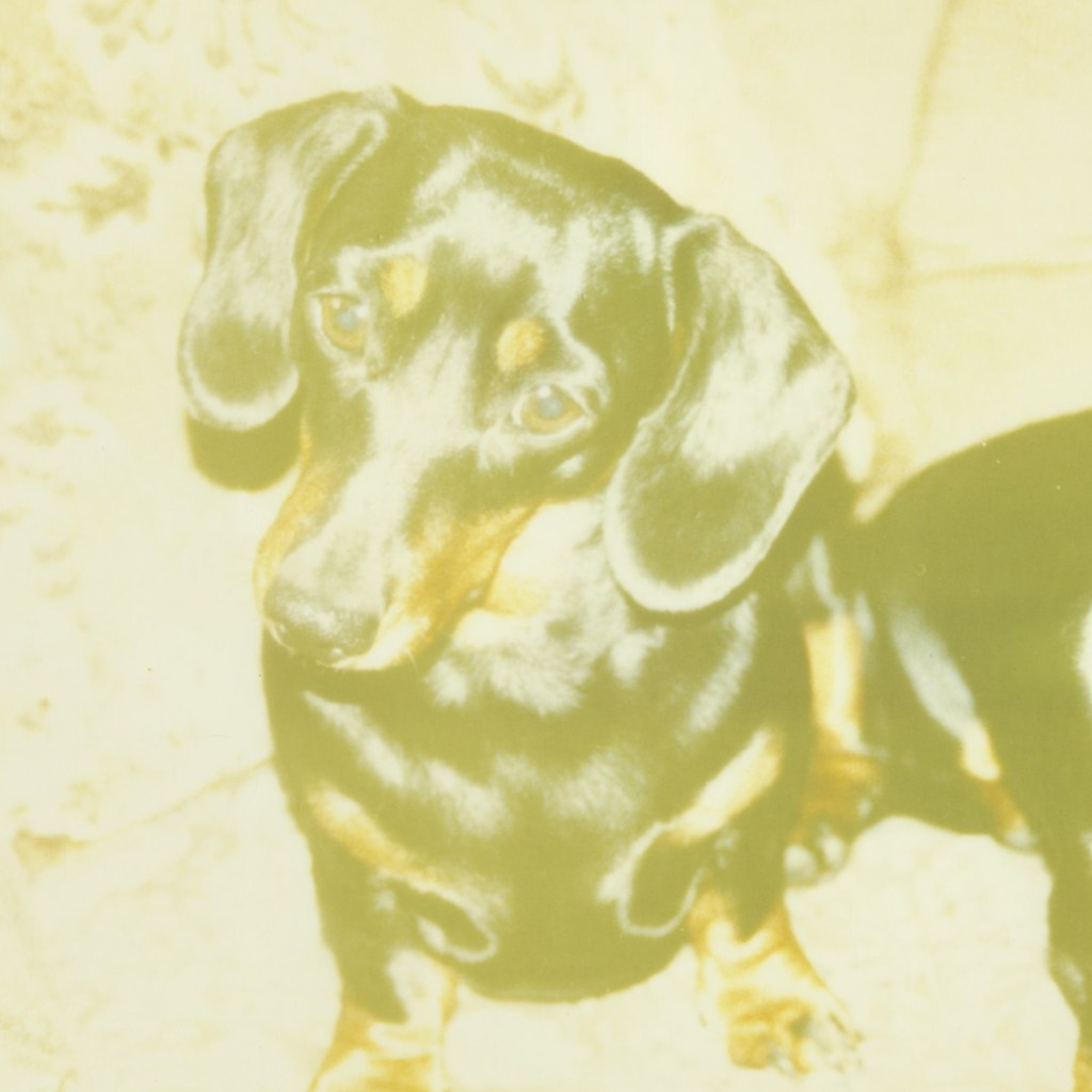 Photo of a dachshund which has faded and has become discoloured.