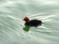 A young moorhen on Lago d'Averno