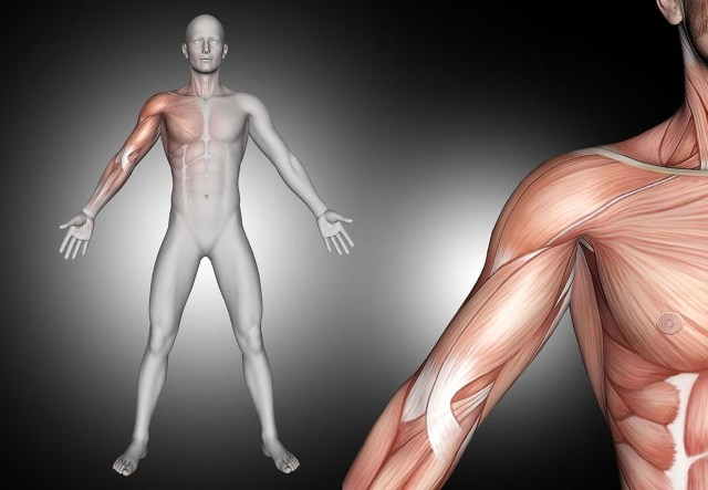 Rotator cuff muscles anatomy