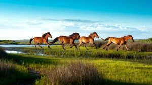 crystal-coast-wild-horses