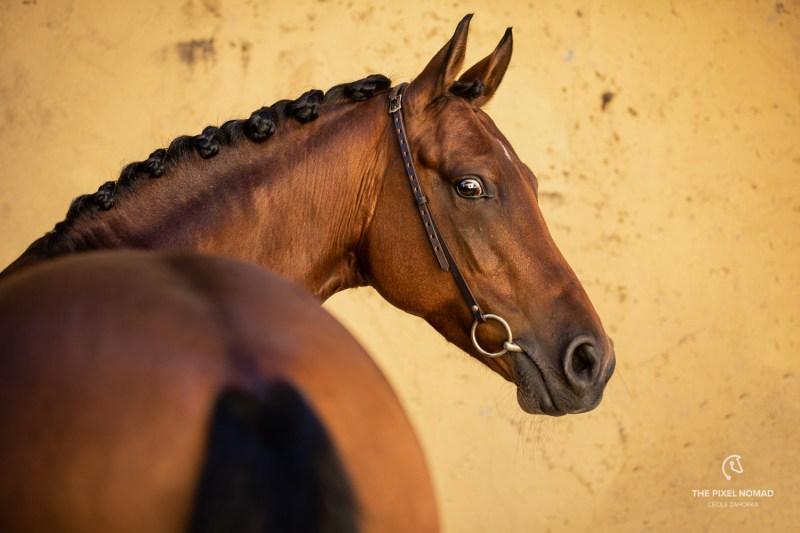 Arenberg-Nordkirchener Pony