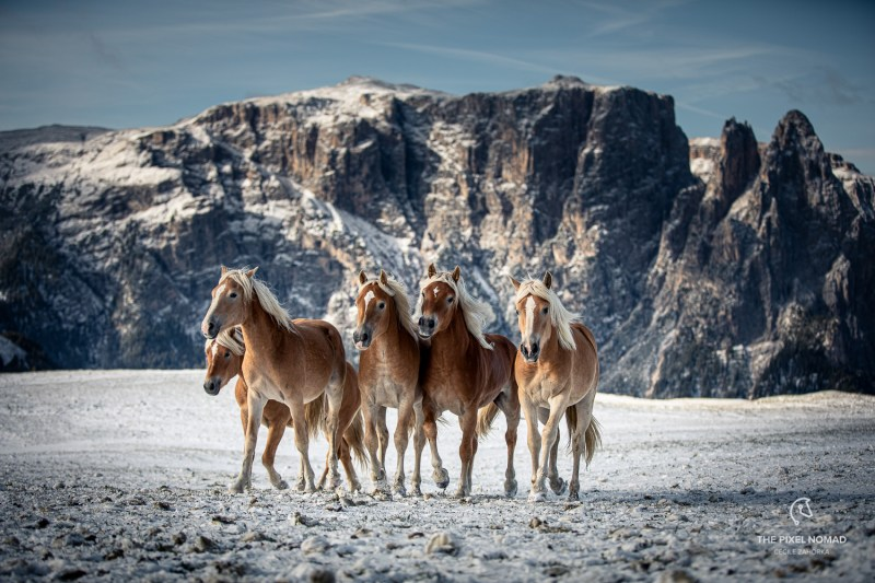 Explorer Tour Italy: Haflinger