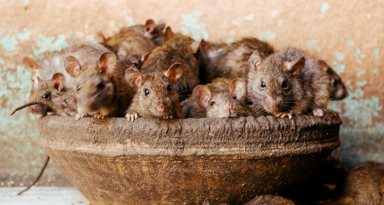 The Indian temple that is dedicated to a Hindu goddess  and 20000 rats