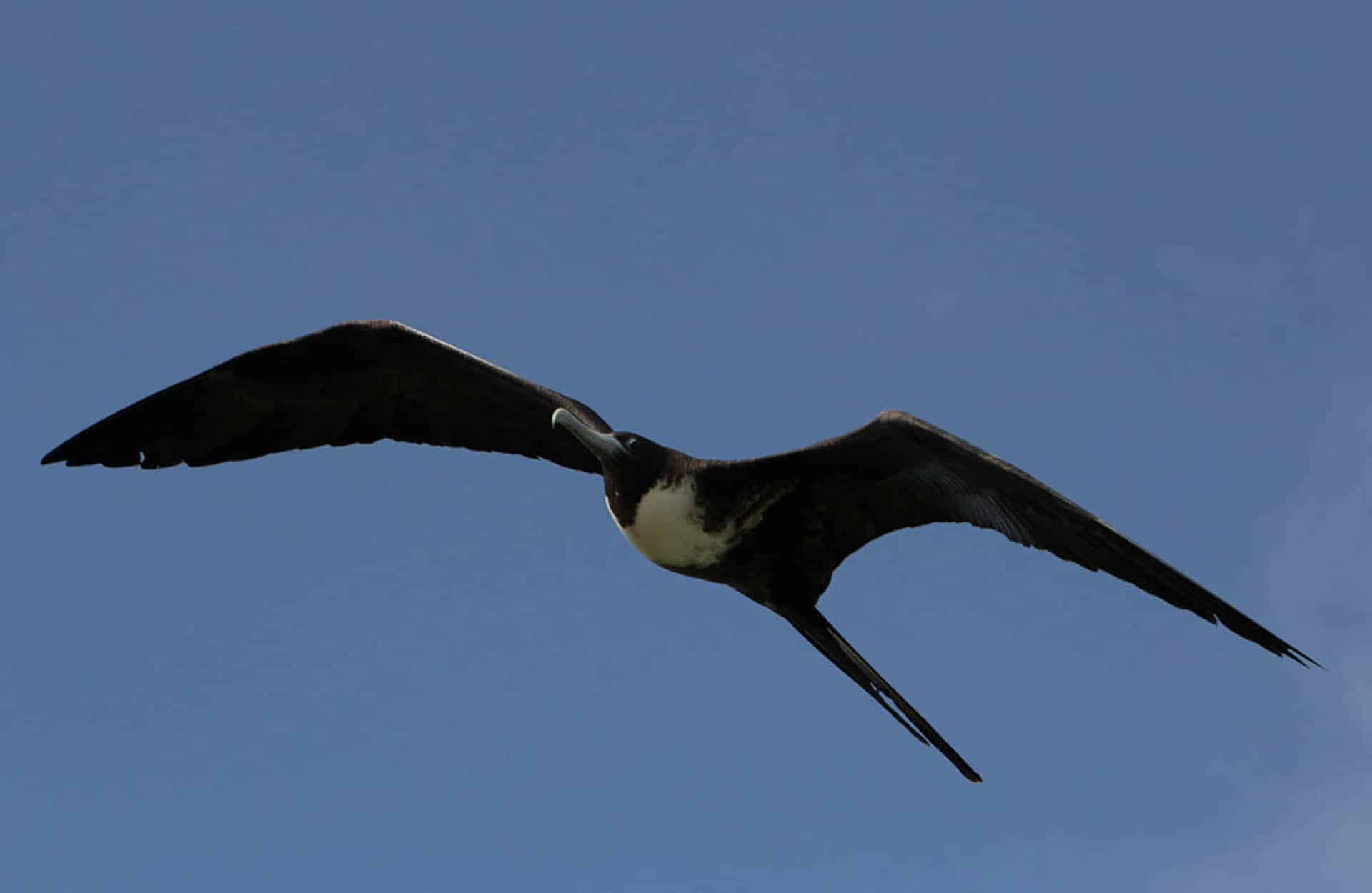 frigate bird galapagos species