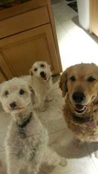 Left to Right: Coco, Maltese MIx, Blue, Terrier Mix, and JC, Golden Retriever, waiting patiently for their human to give them a snack - Photo Submitted by Adriana Espinoza
