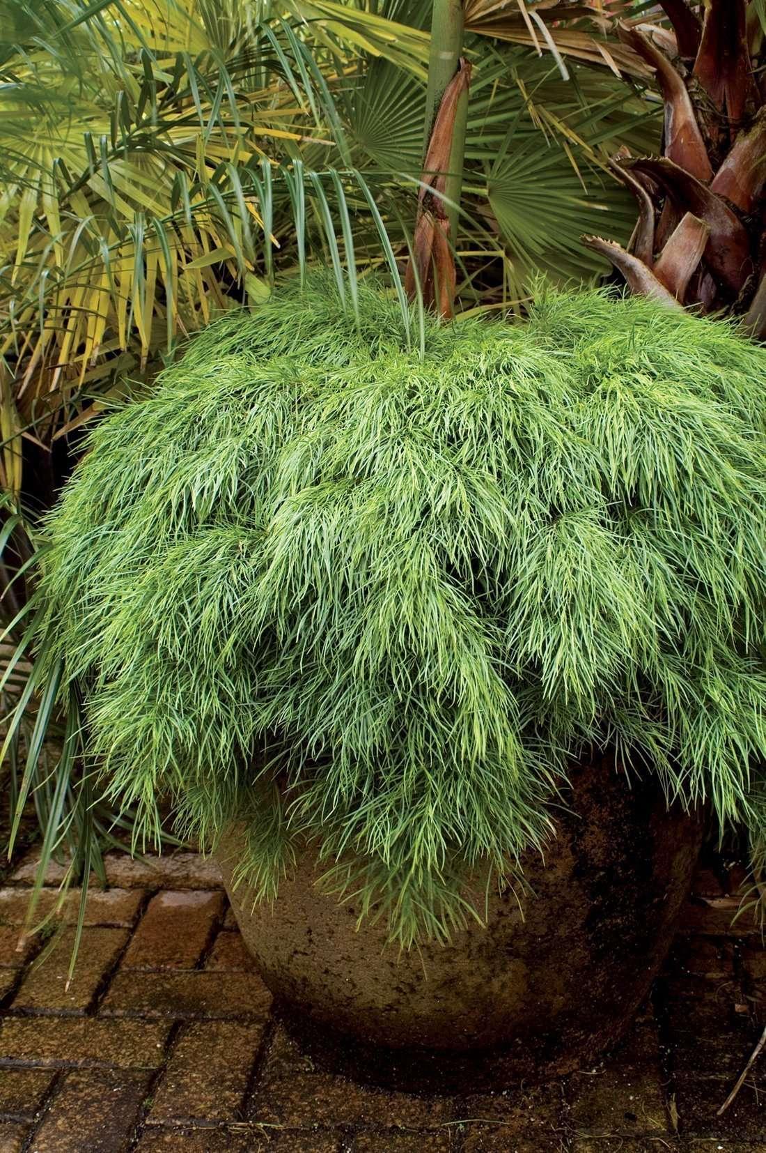 Acacia Cognata - Limelight
