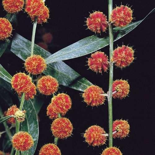 Acacia - Scarlet Blaze
