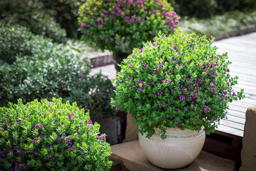 Polygala - Little Bibi (Myrtifolia x Oppositifolia)