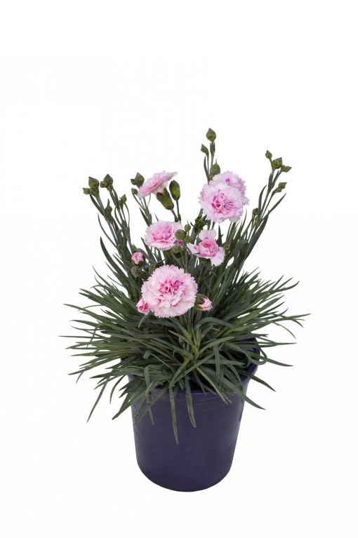Dianthus - Candy Floss