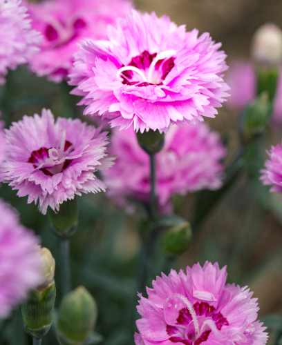 Dianthus - Pop Star