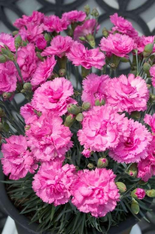 Dianthus - Candy Floss Mauve